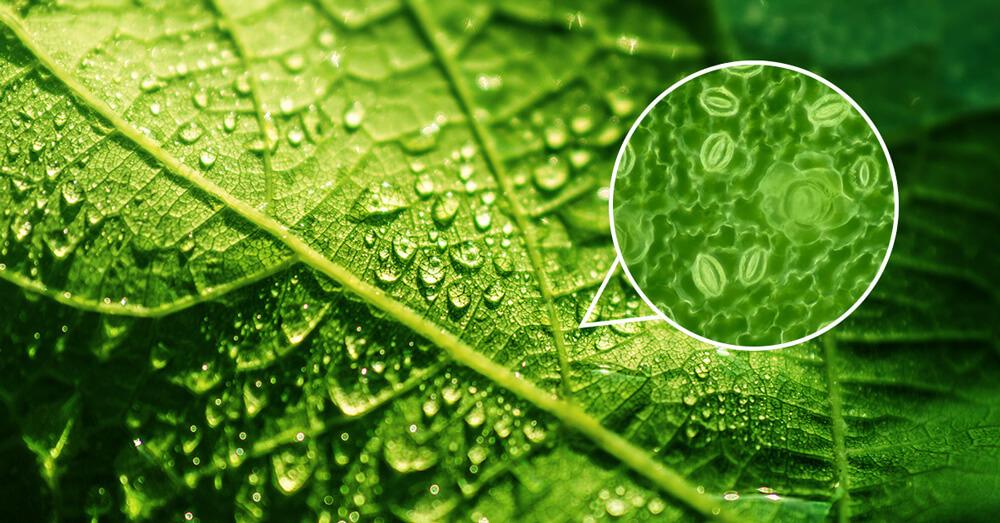 Foliar absorption through stomatal pores